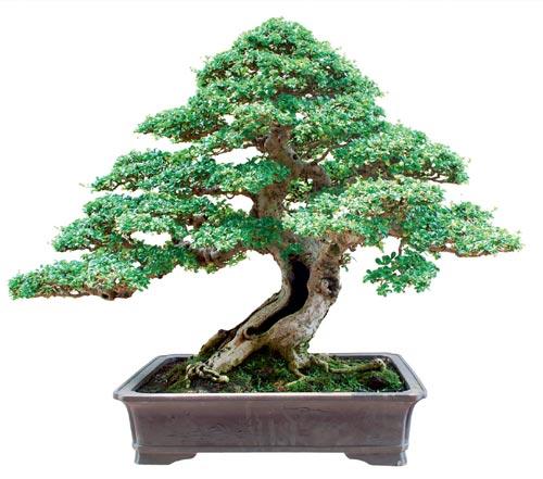 Bonsai Hokianti Sang Pemenang Taman Bunga Untuk Kita